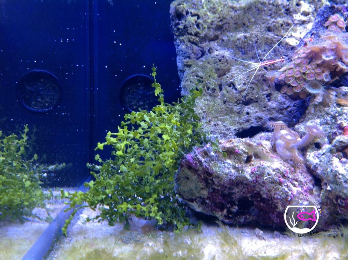 Sinularia rose vert et algues calcaire