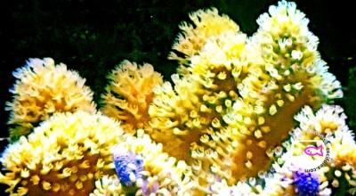 Bouture Corail Plante récifale décoration aquarium