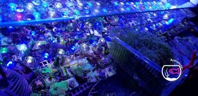 Plante Chaetomorpha récifale pour bouture corail lps sps
