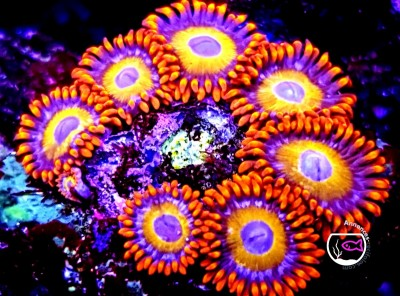 ZOANTHUS ULTRA COLOR